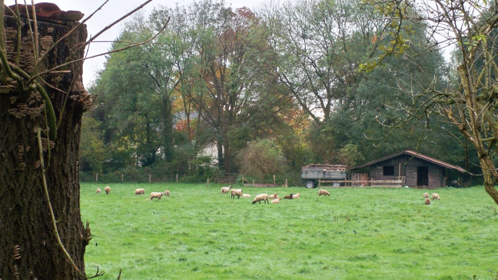 Schafe in Holweide © Landesblog NRW