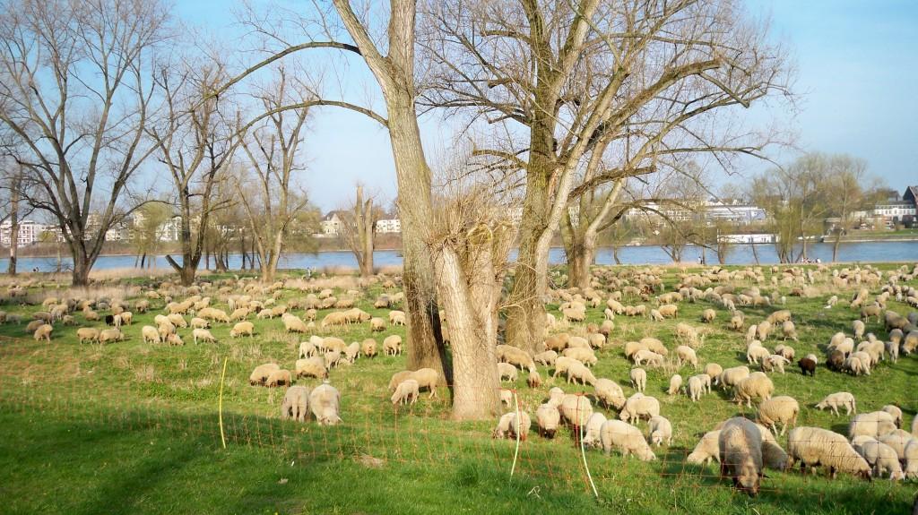 Riesige Schafherde wandert durch Köln