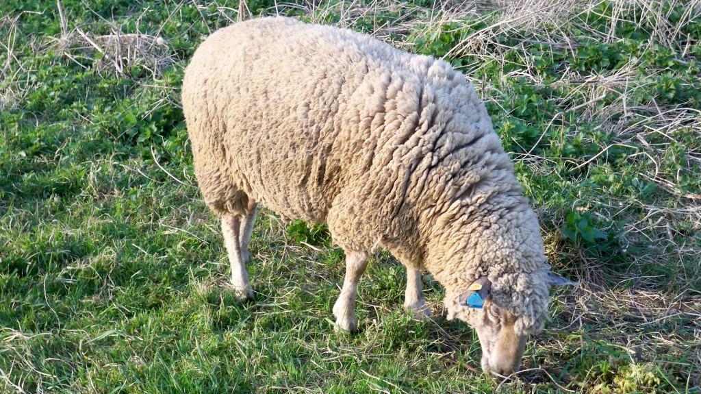 Schaf mit Erkennungsmarke am Ohr © Landesblog NRW