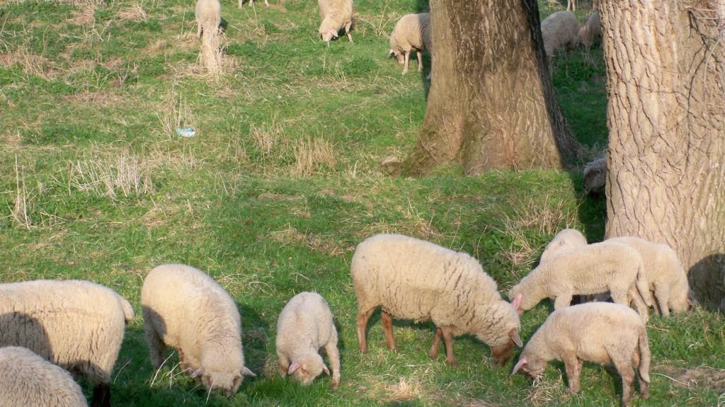 Schafe besprechen sich