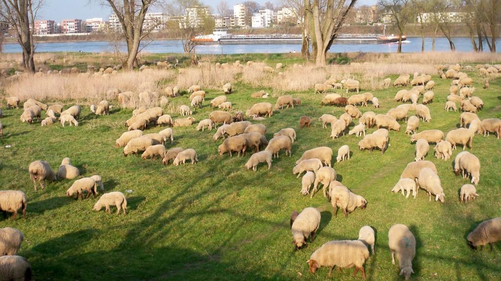 Schafe machen Mäh