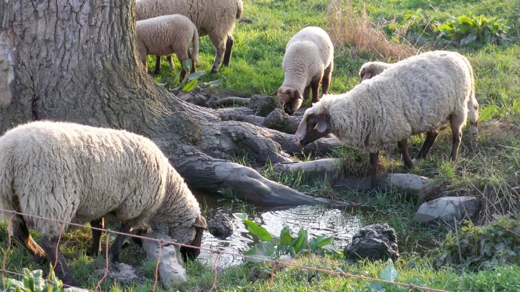 Schafe trinken auf der Weide