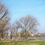 Schafe am Kölner Rheinufer – es ist wieder so weit!