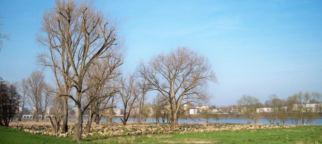Schafherde von weitem © Landesblog NRW